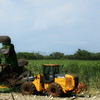 Sugar Cane Harvest.