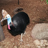 Southern Cassowary