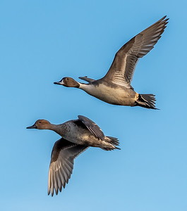 Mr and Mrs Pintail arrive @ Cattail from the North