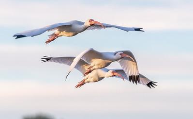 White ibis' were plentiful