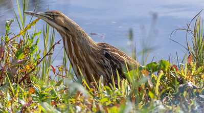 The American Bittern-known for their stealth movement, very shy, skittish, normally totally camouflaged and thus rarely seen this open.