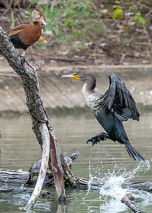Black-bellied Whistler and Red-eared Turtle ain't moving for the Cormorant!!