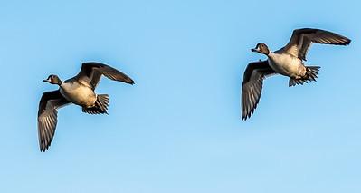 Pintail Drakes preparing for landing