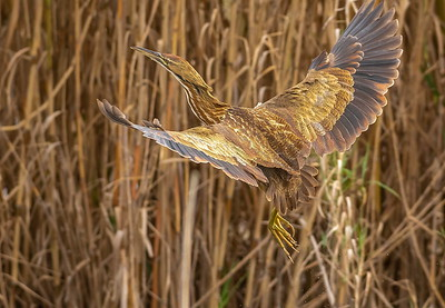 Knowing he would soon take flight, I was ready for his departure--The American Bittern in flight is a rare treat!!