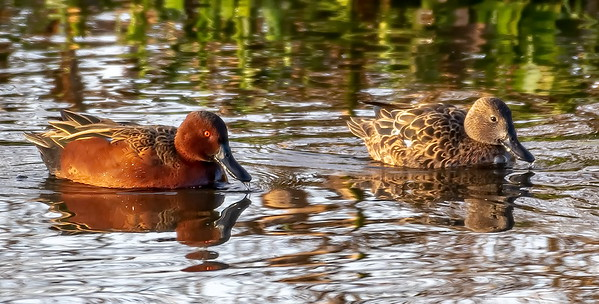 Mom and Dad Cinnamon Teal cruising the wetlands of Cattail Marsh