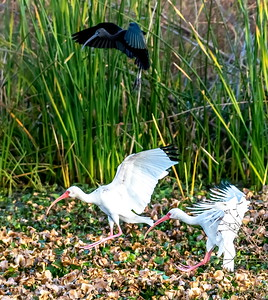 Ibis' with wheels down