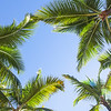 Looking up on coconut palm trees over blue sky background