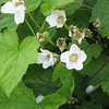 along with thimbleberry