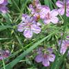 wild geranium,