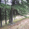 Another old phone line.  This trail used to link the Sled Springs Guard Station to the Chico Guard Station.