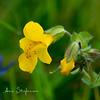 Monkey Flowers ( Mimulus  guttalus)