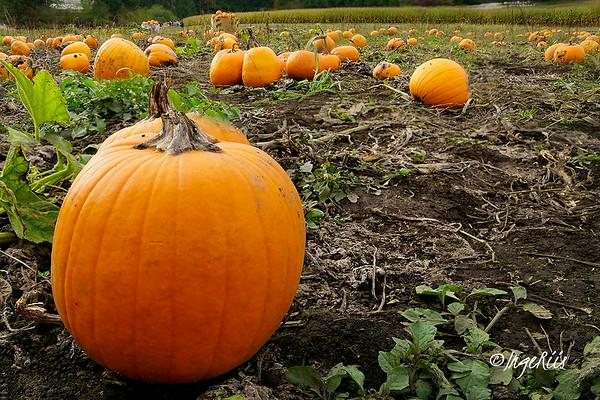 Pumpkin Patch - Inge