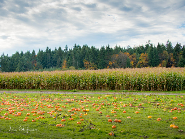Corn field and Pumpkin patch