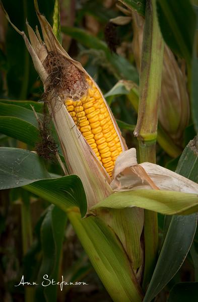 Corn Cob @ McNabs