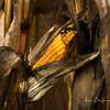 Corn Cob left behind