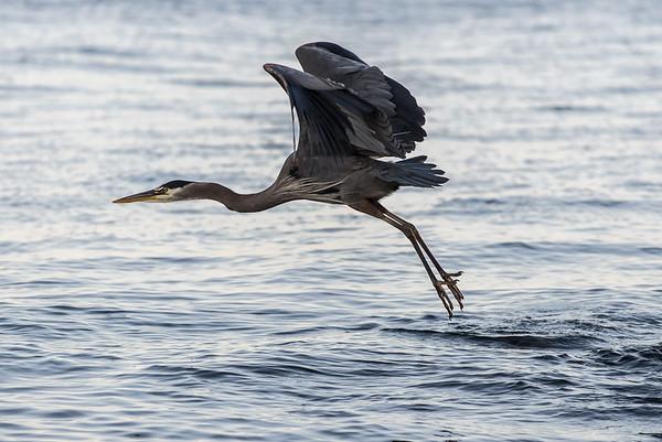 Barry T.    Heron in Flight