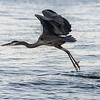Barry T.    Heron in Flight