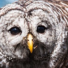 Brian Clemens - Barred Owl