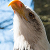 Brian Clemens - Bald Eagle