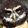 spectacled owl   Diana Dugas