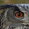 Lynda Stevens-Eurasian Eagle Owl