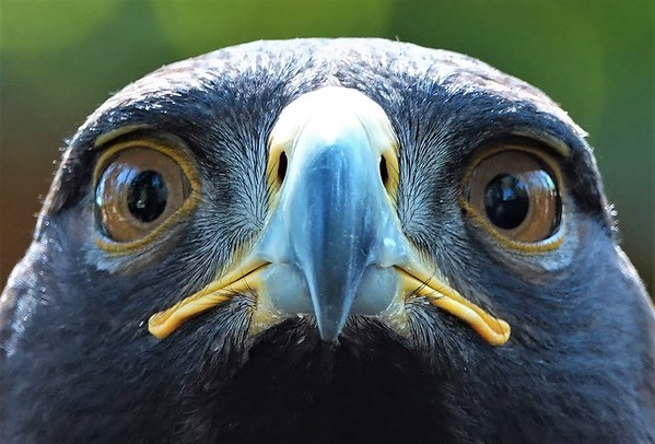 Lynda Stevens-Golden Eagle Up Close
