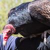 Brian Clemens - Turkey Vulture