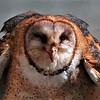 Lynda Stevens-Happy Barn Owl