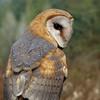 barn owl Diana Dugas
