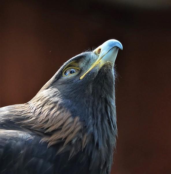 Lynda Stevens-Golden Eagle