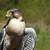 falcon Diana Dugas
