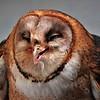 Lynda Stevens-Barn Owl Enjoying Lunch