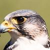Brian Clemens - Gyr/Peregrine Falcon