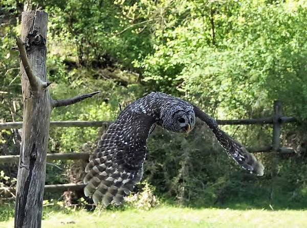 Lynda Stevens-Barred Owl