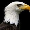 Eagle    Diana Dugas