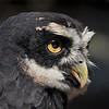 Lynda Stevens-Spectacled Owl