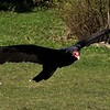 Lynda Stevens-Turkey Vulture