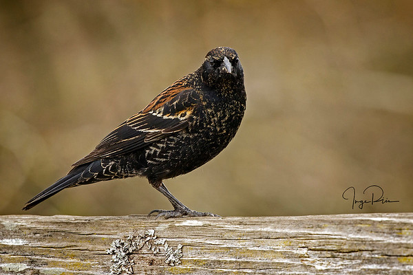 Juvenile Red Wing Blackbird