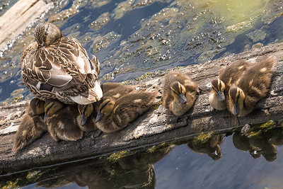 Ducks Aplenty