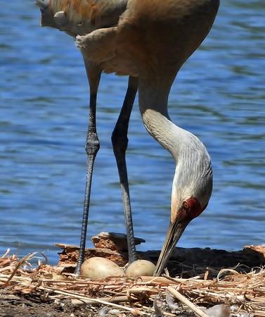 Sandhill Crane and Eggs-Lynda Stevens