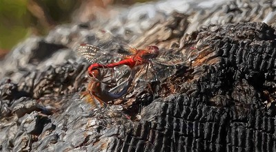 Dragonflies Mating-McLean Mill