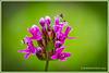 Castilleja parviflora ( Paintbrush )