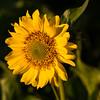 Sunny Flower Barry Tucker