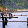 Pelicans in Nepean Bay