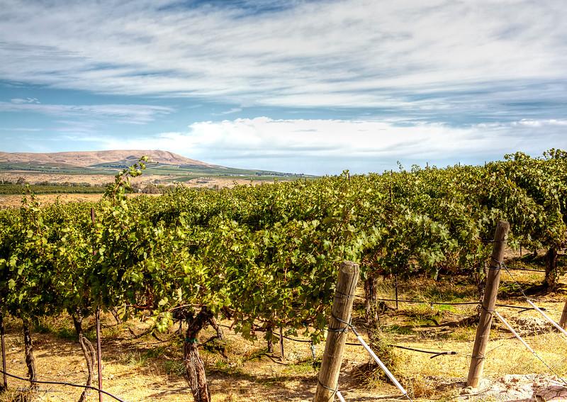 Cabernet Sauvignon Vineyard