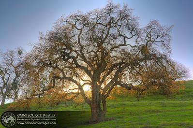 Borges Ranch Oak Tree. Walnut Creek, CA.