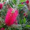 Our Bottlebrush Tree<br /> We really enjoy this tree, since it's an evergreen and blooms several times a year, turning almost red from all the blooms that are wiry, yet soft to the touch.