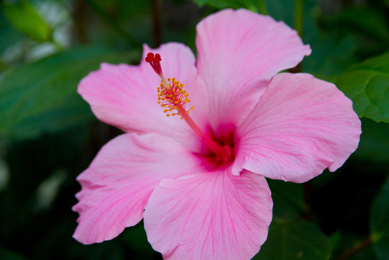 Pink Hibiscus<br /> I now have a great respect for farmers and anyone with a green thumb. I still have a few flowers, but now they're the hardy, low maintenance type. <br /> This pink hibiscus was found at Vargos in Houston.