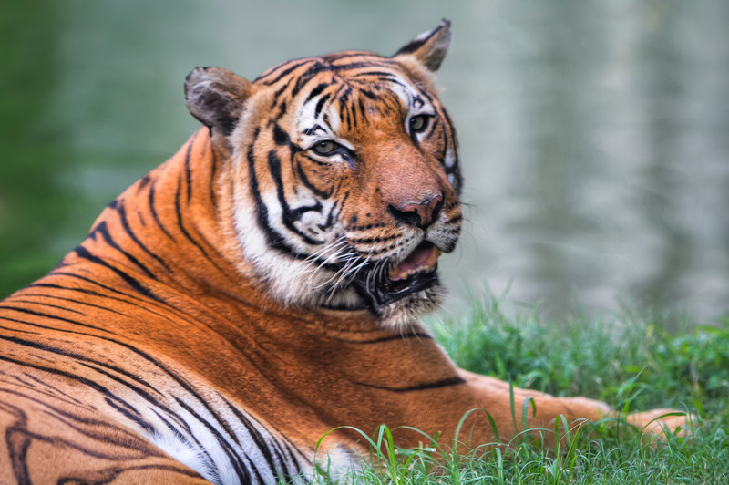 Pandu, the Malayan Tiger