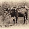 Texas Longhorn - vignette